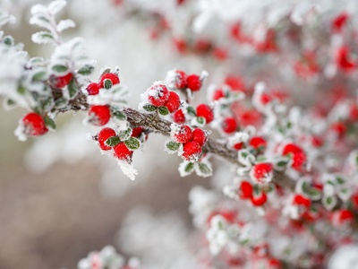 Frost-Covered Berries Photographic Print