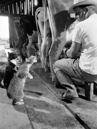 Cats Blackie and Brownie Catching Squirts of Milk During Milking at Arch Badertscher's Dairy Farm Fotografisk tryk af Nat Farbman
