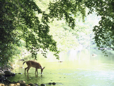 Lone White-Tailed Deer Drinking Water from Banks of Cheat River Photographic Print by John Dominis