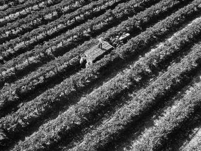 Subject: Aerial of Grape Harvest Workers. Fresno, California Photographic Print by Margaret Bourke-White