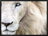 Full Frame Close Up Portrait of a Male White Lion with Blue Eyes.  South Africa. Framed Canvas Print by Karine Aigner