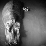 "Mother Hippo ""Bebe"" and Her Daughter Photographic Print by Mark Kauffman"