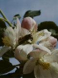 Bee in Flower Premium Photographic Print by Eric Schaal