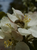 Bee in Flower Premium Photographic Print by Eric Schaal