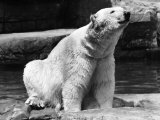 View Showing a Polar Bear Begging for Food at the Brookfield Zoo Premium Photographic Print by William Vandivert