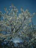Trees in Spring Blossoms Premium Photographic Print by Herbert Gehr