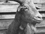 "Portrait of ""Red"", a Judas Goat Who Leads Sheep into the Slaughter House Premium Photographic Print by William Vandivert"