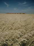 Harvest Story: Combines Harvest Wheat at Ranch in Texas Photographic Print by Ralph Crane