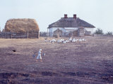 Woman Tending Flock of White Geese on Farm Premium Photographic Print by Bill Eppridge