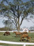 Calumet, Horse Farm Photographic Print by Eliot Elisofon