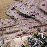 Food: Chinese Farmers Harvesting in a Rice Field Fotografie-Druck von Michael Rougier