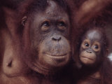 Orangutans in Captivity, Sandakan, Soabah, and Malasia, Town in Br. North Borneo Fotografisk tryk af Co Rentmeester
