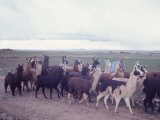 Herd of Black, Brown and White Llamas Walking Through Field with Indian Herdsman, Bolivia Premium Photographic Print by Bill Ray