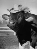 Trained Cow Wearing a Hat Photographic Print by Nina Leen