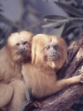 Primates: Golden Tamarin Mormoset Premium Photographic Print by Nina Leen
