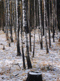 Russian Look of the Land Essay: Birch Trees in a Forest Photographic Print by Howard Sochurek