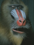 Mandrill Monkey Premium Photographic Print by Nina Leen