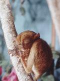 Monkeys Premium Photographic Print by Larry Burrows