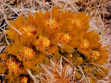 Desert Wild Flowers Premium Photographic Print by Andreas Feininger