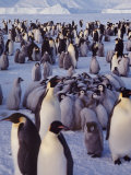 Emperor Penguins, Antarctica Premium Photographic Print by Michael Rougier