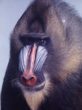 Mandrill Monkey at the Bronx Zoon Premium Photographic Print by Nina Leen