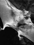 Rabid Male Vampire Bat Premium Photographic Print by J. R. Eyerman
