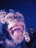 Darwin&#39;s Study of the Expressions of Monkeys in Formulating His Theory of Evolution Photographic Print by Mark Kauffman