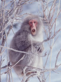 Japanese Macaques in Shiga Mountains of Japan Premium Photographic Print by Co Rentmeester