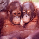 Orangutans in Captivity, Sandakan, Soabah, and Malasia, Town in Br. North Borneo Photographic Print by Co Rentmeester