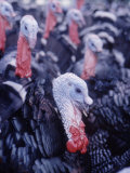 Broad Breasted Bronze Turkeys on Turkey Farm Premium Photographic Print by John Loengard