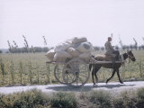 Russian Look of the Land Essay: Cotton Sacks Loaded on Horse Drawn Carts on Road Outside Frunze Premium Photographic Print by Howard Sochurek