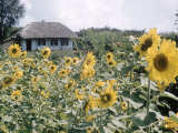 Russian Look of the Land Essay: Field of Blooming Sunflowers on Farm Premium Photographic Print by Howard Sochurek