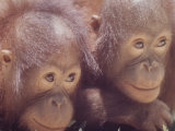 Orangutans in Captivity, Sandakan, Soabah, and Malasia, Town in Br. North Borneo Premium Photographic Print by Co Rentmeester