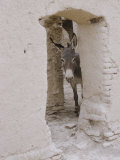 Russian Look of the Land Essay: Donkey Peering Out of Doorway at Merv Premium Photographic Print by Howard Sochurek