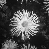 Close-Up of Chrysanthemums at Garfield Park Conservatory Photographic Print by Gordon Coster