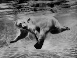 Polar Bear Swimming Underwater at London Zoo Reproduction photographique Premium par Terence Spencer