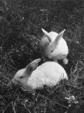 Two White Rabbits Nestled in Grass, at White Horse Ranch Premium Photographic Print by William C. Shrout