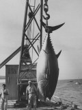 337 Lb. Tuna Caught at Cabo Blanco, Peru by Member of the Cabo Blanco Fishing Club Papier Photo par Frank Scherschel