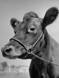 View of a Cow on a Farm Photographic Print by Eliot Elisofon