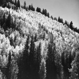 View of Aspen Trees Growing in the Grand Canyon National Park Photographic Print by Frank Scherschel