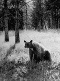 Bear in Woods in Yellowstone National Park Photographic Print by Alfred Eisenstaedt