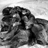 Sled Dogs Sleeping Photographic Print