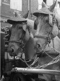 View of Beer Wagon Horses Wearing Straw Hats to Shade their Eyes from the Sun Premium Photographic Print by John Phillips