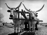 White Long-Horned Steers Teamed Up Like Oxen to Pull a Hay Wagon on the Anyala Farm Photographic Print by Margaret Bourke-White