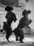 French Poodles Standing on Hind Legs Premium Photographic Print by Mark Kauffman