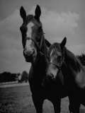 Mare Maridadi Standing with Her Foal at the Chrysler Stud Farm Premium Photographic Print by Marie Hansen