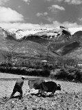 Farmer Using a Team of Oxen to Draw a Primitive Plow Through the Fields Premium-Fotodruck von William Vandivert