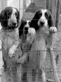 English Springer Spaniels at Elias Cornell Vail's Kennel, Best Field-Dog Trainer in the US Premium Photographic Print by Alfred Eisenstaedt