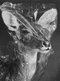 African Nayala Antelope Covered in Cellophane by Taxidermist, American Museum of Natural History Premium Photographic Print by Margaret Bourke-White