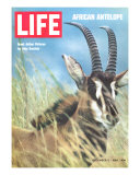 Roan Antelope, December 5, 1969 Photographic Print by John Dominis